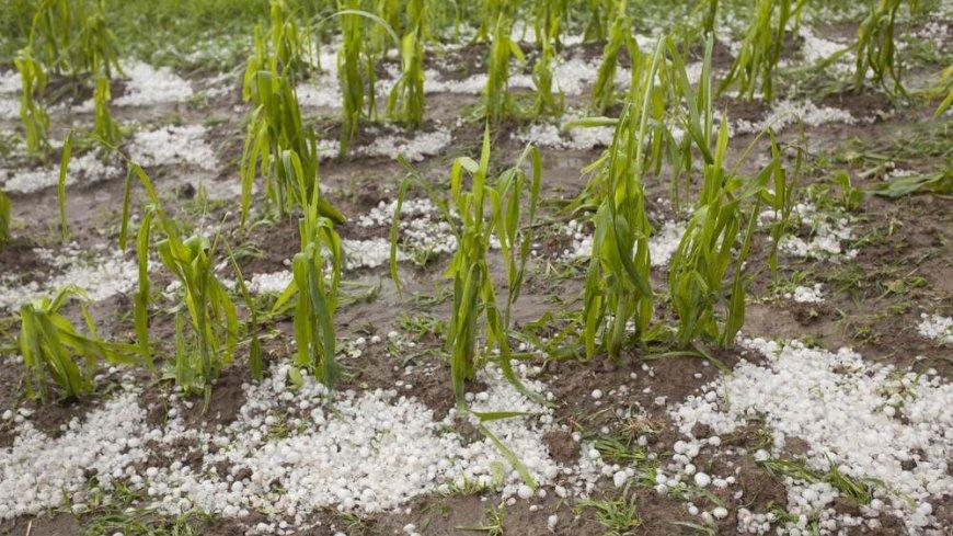 Uszkodzone w wyniku gradobicia uprawy rolne